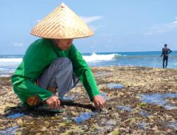 Saat Laut Surut,Mengais Rezeki Dibalik Karang Besar Pantai Legok Jawa Pangandaran
